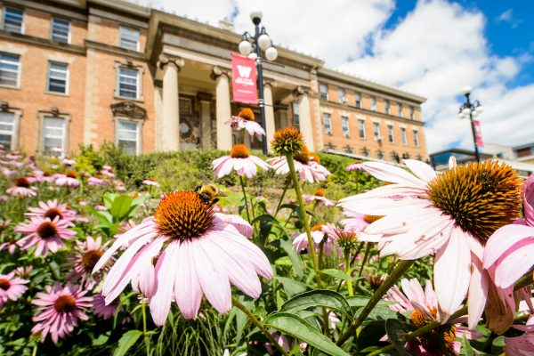 Bumble bees gather pollen on echinacea flowers outside of Agricultural Hall at the University of Wisconsin-Madison during summer. (Photo by Bryce Richter / UW-Madison)