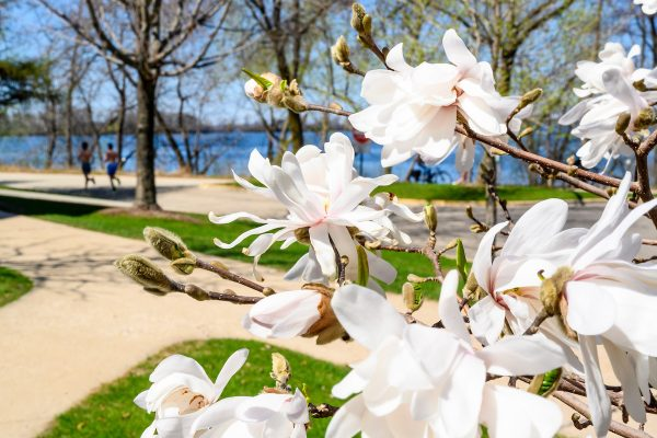 Flowering magnolia trees brighten the landscape along the Howard Temin lakeshore path near Bradley Residence Hall at the University of Wisconsin-Madison during a warm spring day on April 23, 2019. (Photo by Bryce Richter /UW-Madison)