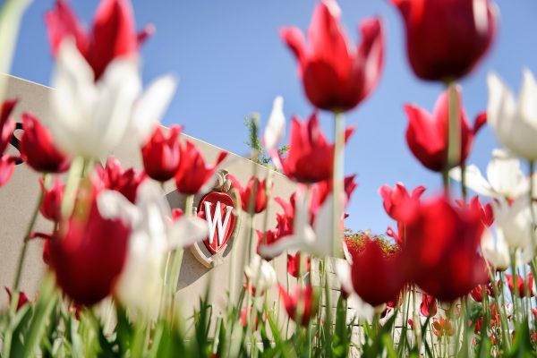 Flowering red and white tulips frame an ornate W crest icon that is a part of a landscaped roundabout at Observatory Drive and Walnut Street at the University of Wisconsin-Madison during spring on May 24, 2013. (Photo by Jeff Miller/UW-Madison)